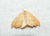Family Drepanidae