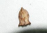 Family Torticidae & Hepialidae