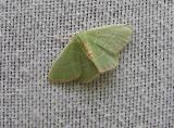 Red Bordered Emerald (Nemoria lixaria) [Geometridae , Geometrinae]
