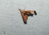 Dark-spotted Palthis (Palthis angulasis)