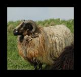 Badgerface ram