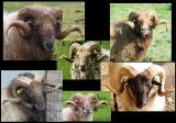 Collage Rams