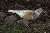 Ring Neck Turtle Dove