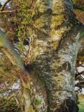 silver bark