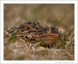Northern Leopard Frog - 1