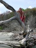 Dan climbs one of the Hugo ravaged trees