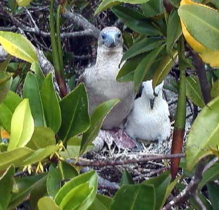 Booby mom and baby