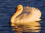 Swan at Sunset 2998