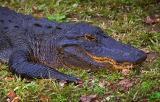 Alligator 3471