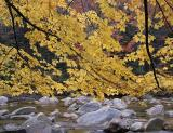 NH Yellow Maples