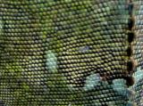 Macro shot of an iguana