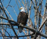 Bald Eagle 0105-1j  Naches River