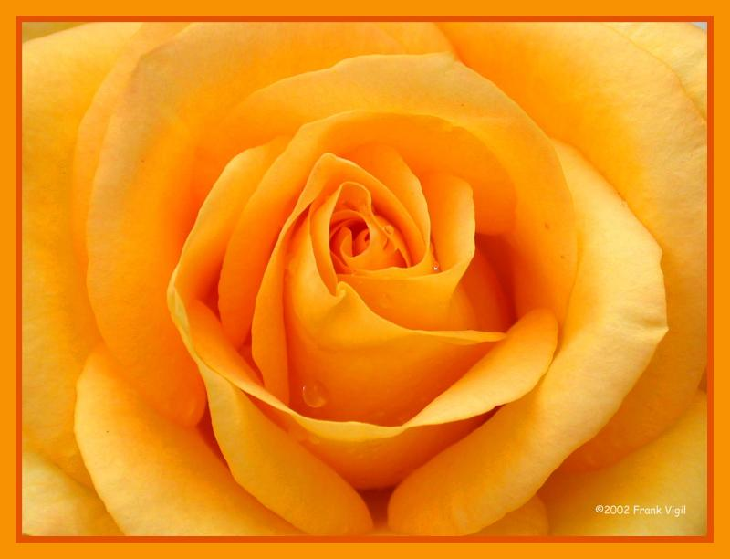 Favorite Rose
