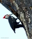 Pileated Woodpecker 4.jpg