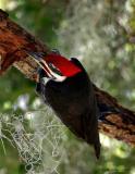 Pileated woodpecker3.jpg