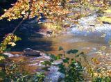 Deer In River
