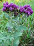 Baldwin ironweed
