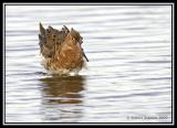 Black-tailed Godwit 4