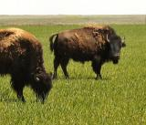 Two bison graze near Buffalo Lake Wildlife Preserve near Umbarger, Texas.