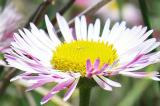 Fleabane Daisy (Wildflower)