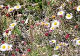 Daisy Patch (Wild Flowers)