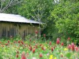 Old Barn and Wildflowers
