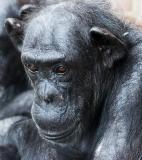 Elderly female chimp