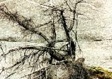 tough old tree