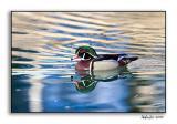 Wood Duck_P9E1467.jpg