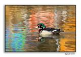 Wood Duck_P9E1385.jpg