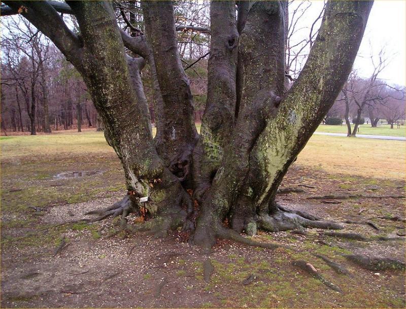 Sagamore Tree