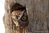 30924 - Eastern Screech Owl