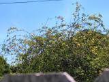 Rosa banksia lutea-plena (Yellow Lady Banks Rose)