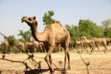 Camels, Gujarat