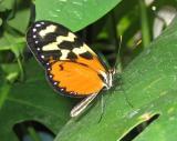 le papillon de profil