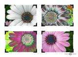 African Daisies Collage.jpg