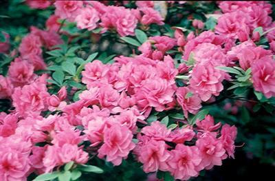 Mini Carnations