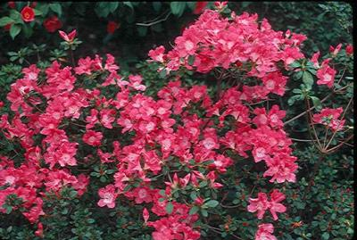 Precocious Pink