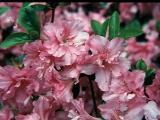 'Chessie's Pink'