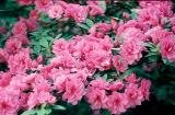 'Mini Carnations'