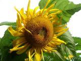 sunflower37