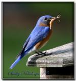 blue_birds_2005