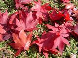 Acer palmatum 'Bloodgood' on Laurentia fluviatalis groundcover