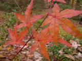 Acer palmatum '??'