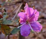 R. racemosum