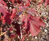 Hydrangea quercifolia (Oak Leaf Hydrangea)