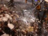 Asclepias tuberosa (Milkweed)