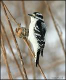 Downy Woodpecker male 1130.jpg