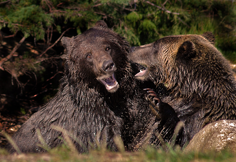 Grizzly Bear Fight 9