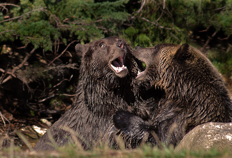 Grizzly Bear Fight 8